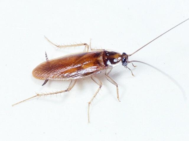 Уничтожение тараканов в Москве – Обработка от тараканов СЭС | Dezer.ru