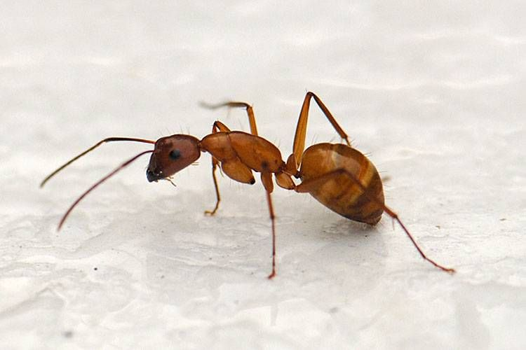 Уничтожение муравьев в Москве – Обработка от муравьев СЭС | Dezer.ru