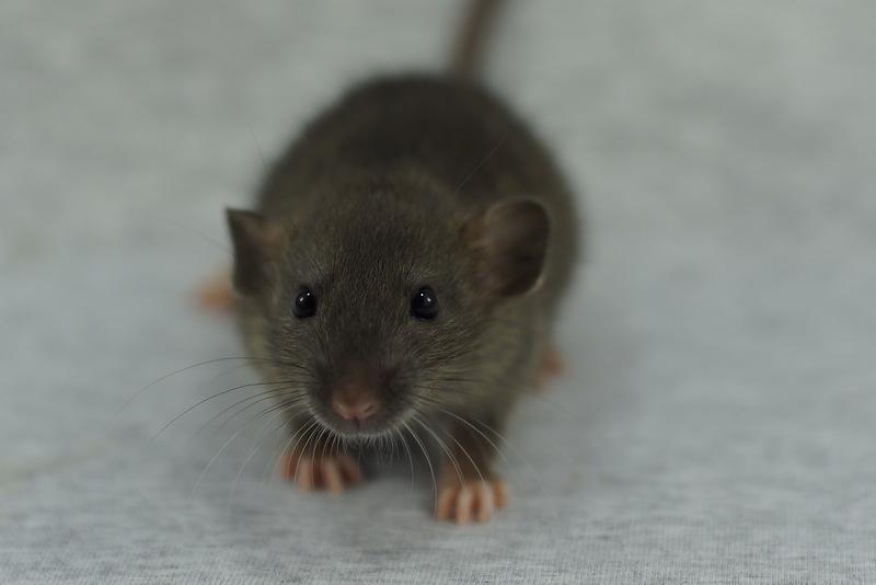 Уничтожение крыс – Москва
