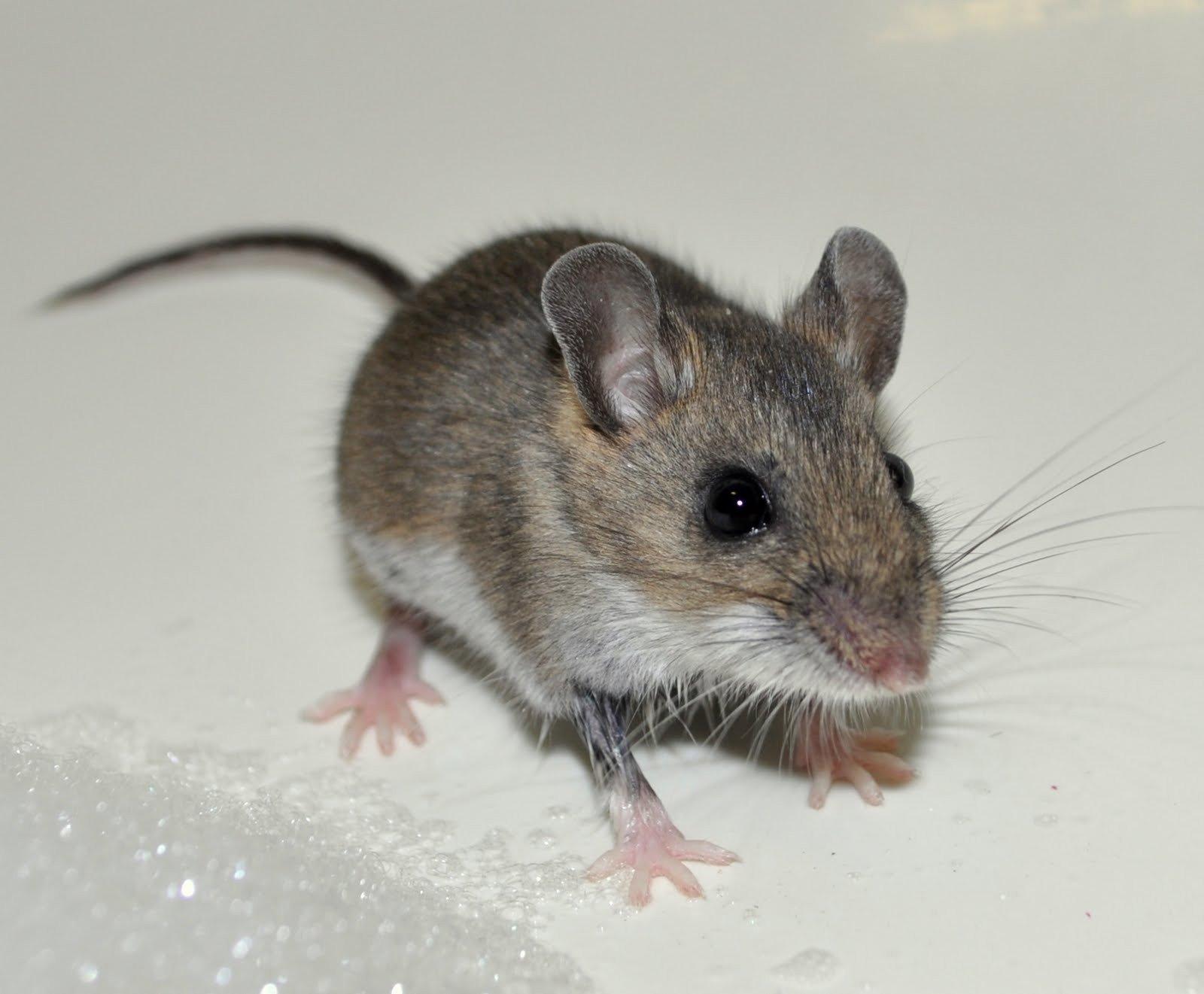 Уничтожение мышей – Москва